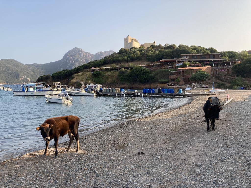 koeien op het strandje bij Girolata